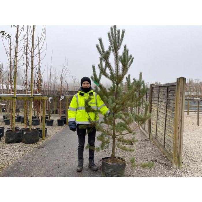 Pinus Sylvestris 175-200 CM