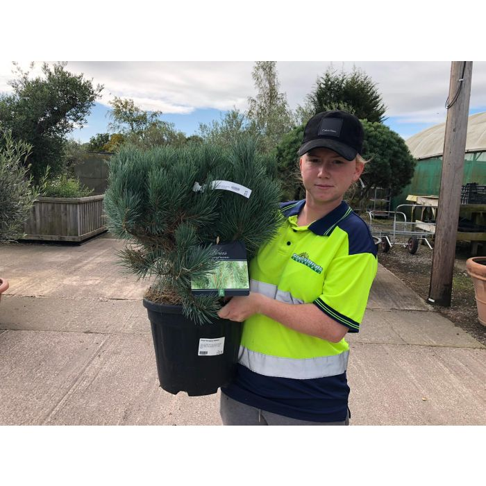 Pinus Sylvestris Watereri 15 Litre Pot