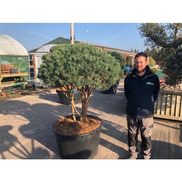 Pinus Sylvestris Umbrella Bonsai 285 Litre Pot