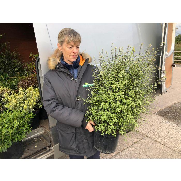 Pittosporum Tenuifolium Cratus 5 Litre Pot