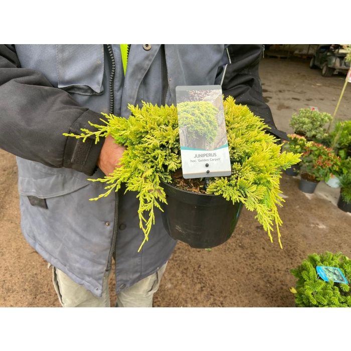 Juniperus Golden Carpet 3 Litre Pot