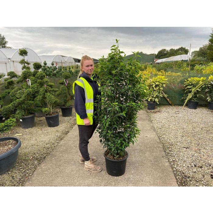 Prunus lusitanica - Portuguese Laurel  20 Litre 150 - 175 cm