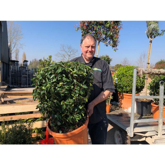 Prunus lusitanica Angustifolia Ball 35 Litre Pot 50/60cm