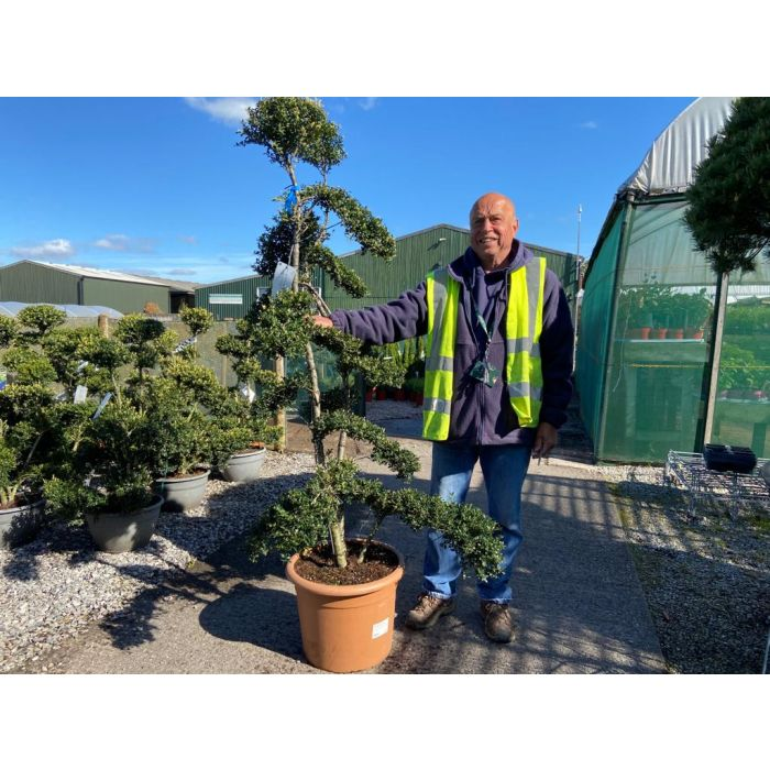 Ilex Crenata Kinme Double Stem Bonsai 30 Litre Pot 160cm Tall With Pot