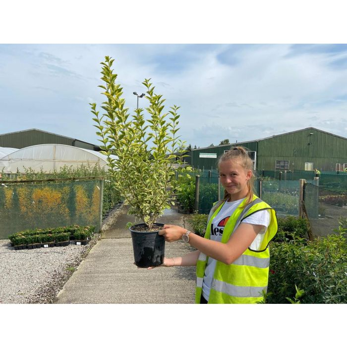 Golden Privet 4.5 Litre 70-90 cm