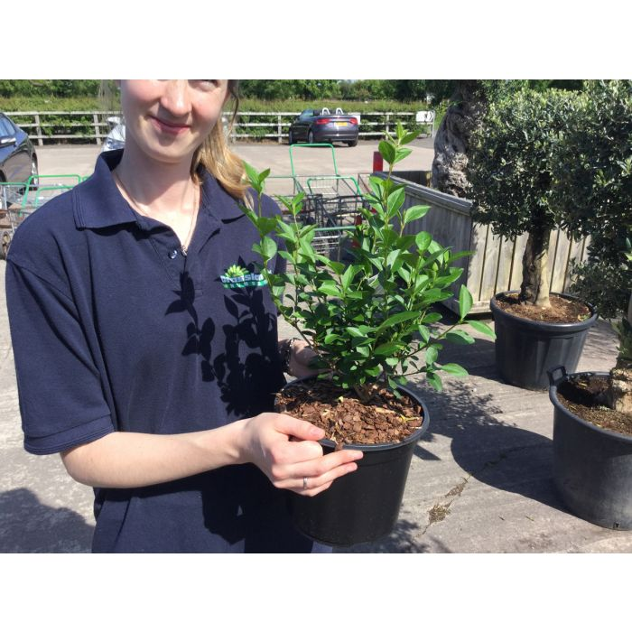 Green Privet Hedge - Ligustrum 2 Litre