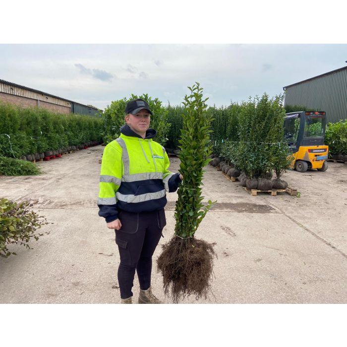 Green Privet Bare Root 80/100cm November Delivery