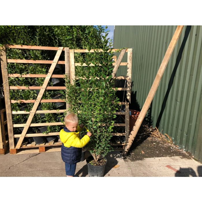 Green Privet 10 Litre
