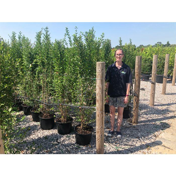Ligustrum Ovalifolium Green Privet 20 Litre Pot 150/160cm