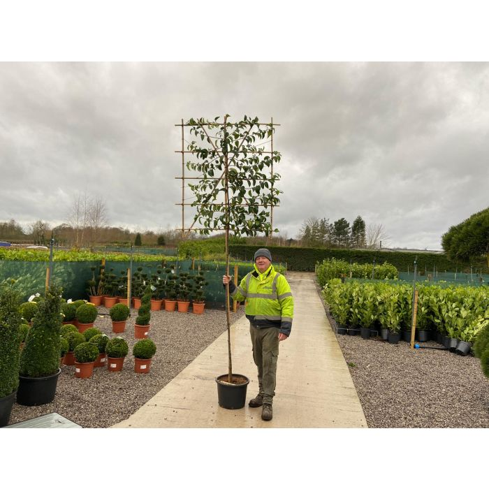 Prunus Lusitanica Tico Std Pleached Tree 6 8 G 120 x 140 180 ST