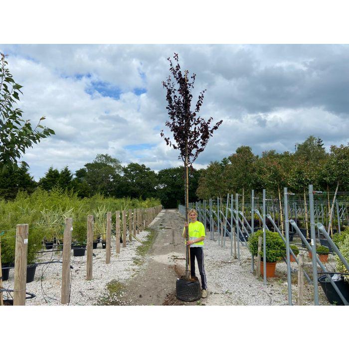 Prunus cer. Nigra Extra Heavy Standard 12-14 cm Girth
