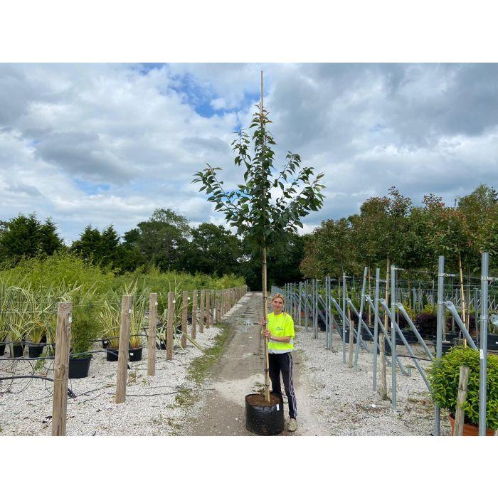 Prunus Avium Plenna Extra Heavy Standard 12-14 cm Girth
