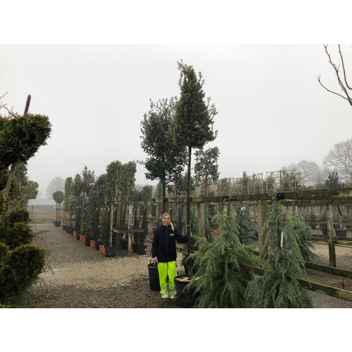 Quercus Ilex Full Standard 16-18cm Girth Cone Clipped Head