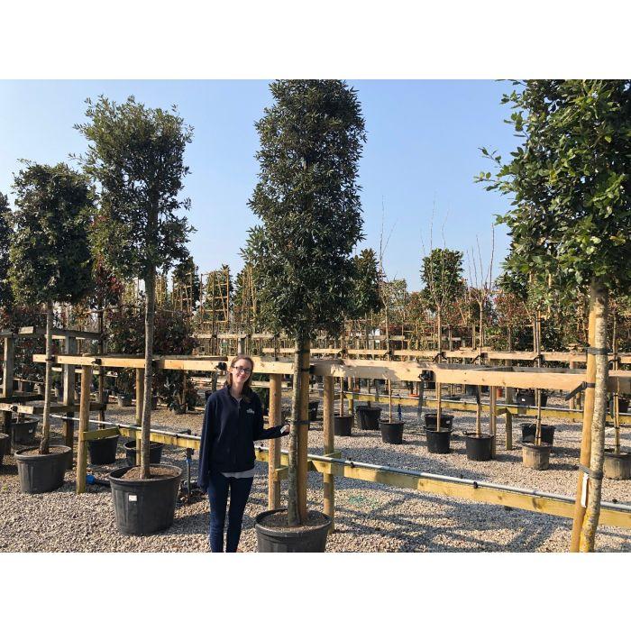 Quercus Ilex - Holm Oak Full Standard Column Head 16/18cm Girth