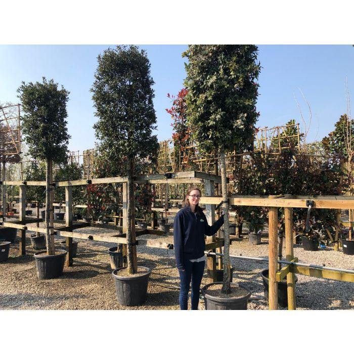 Quercus Ilex  Full Standard Column Head 18/20cm G