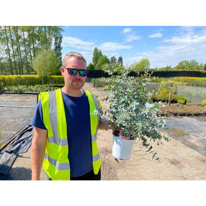Eucalyptus Gunnii 2 Litre Pot