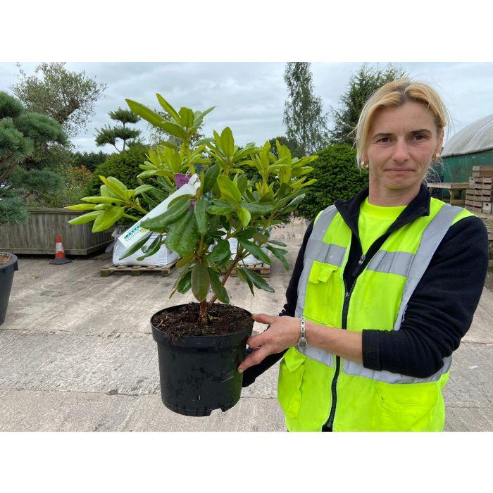 Rhododendron Hybrid Catawbiense Grandiflorum 5 Litre Pot