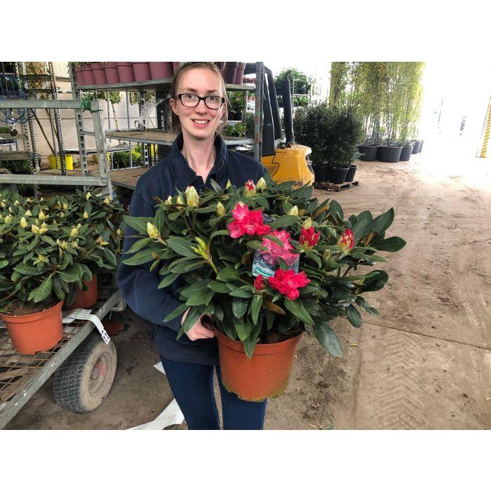 Rhododendron Yakushimanum Anushka 7.5 Litre Pot
