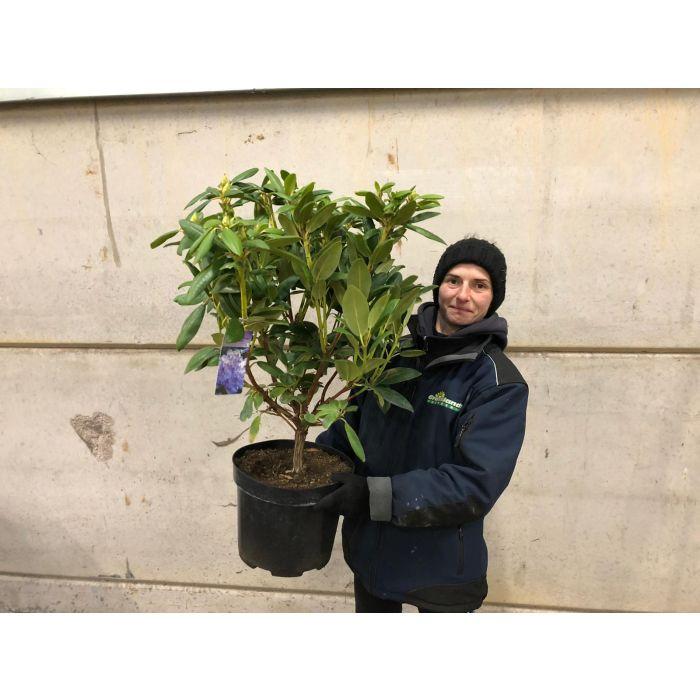 Rhododendron Hybrid Everestianum 10 Litre Pot