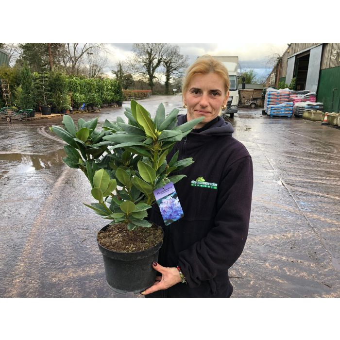Rhododendron Hybrid Everestianum 5 Litre Pot
