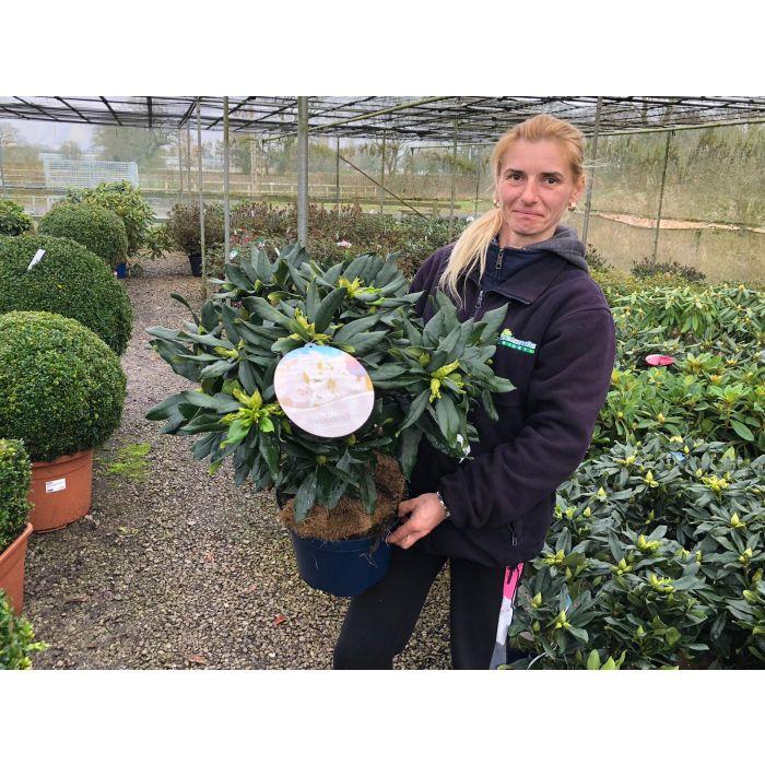 Rhododendron Hybrid Madame Masson 7.5 Litre Pot