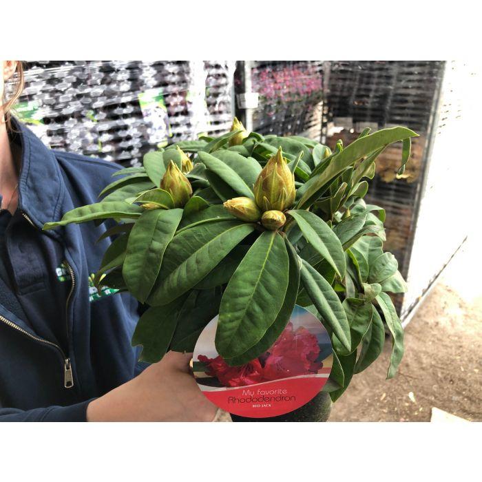 Rhododendron Hybrid Red Jack 2 Litre Pot