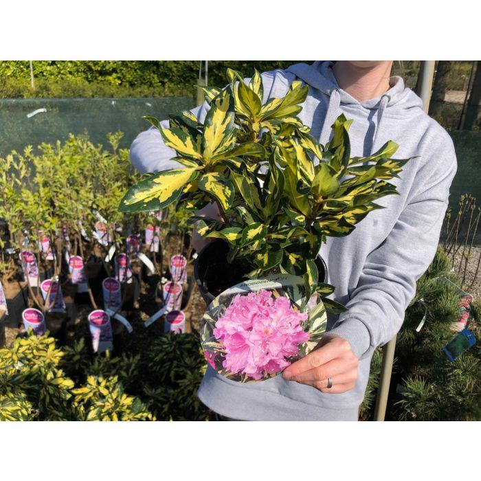 Rhododendron Goldfingers 3 Litre Pot
