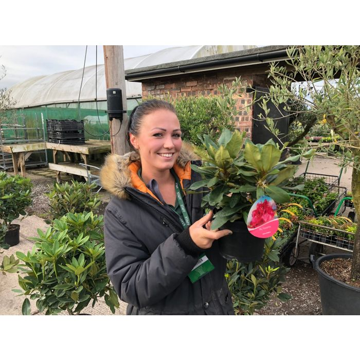 Rhododendron Hybrid Nova Zembla 2 Litre Pot