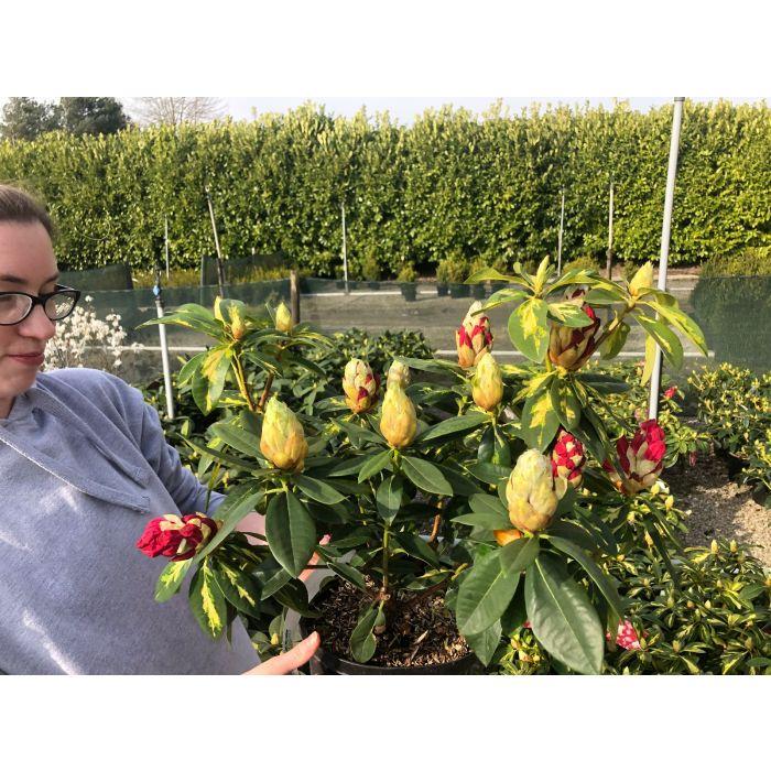 Rhododendron Hybrid President Roosevelt 5 Litre Pot
