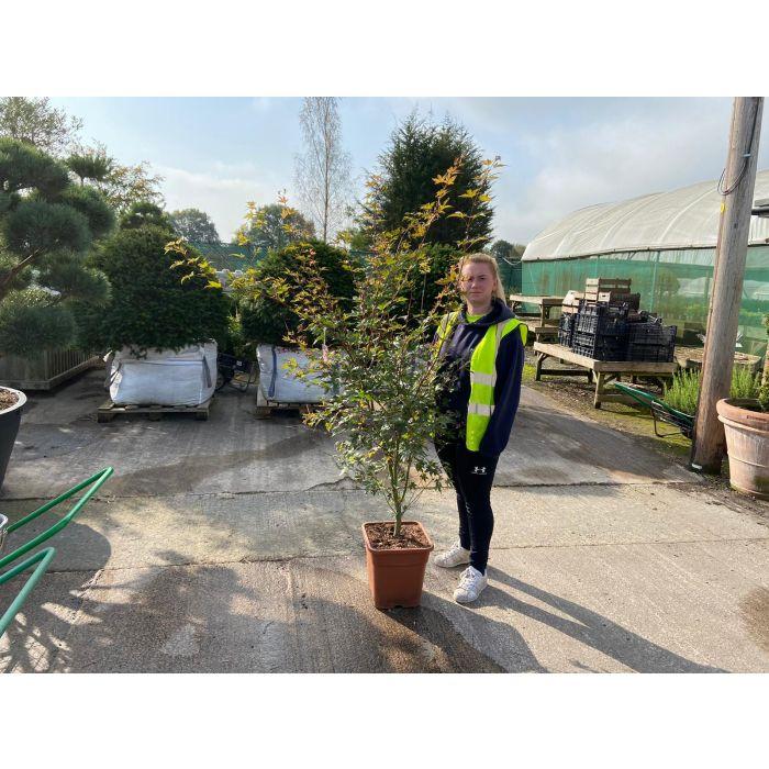 Acer palmatum Brown Sugar 35 Litre Pot