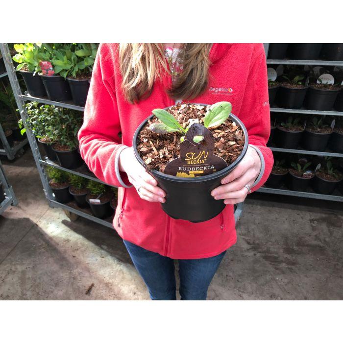 Rudbeckia sunbeckia Alisia 3 Litre Pot