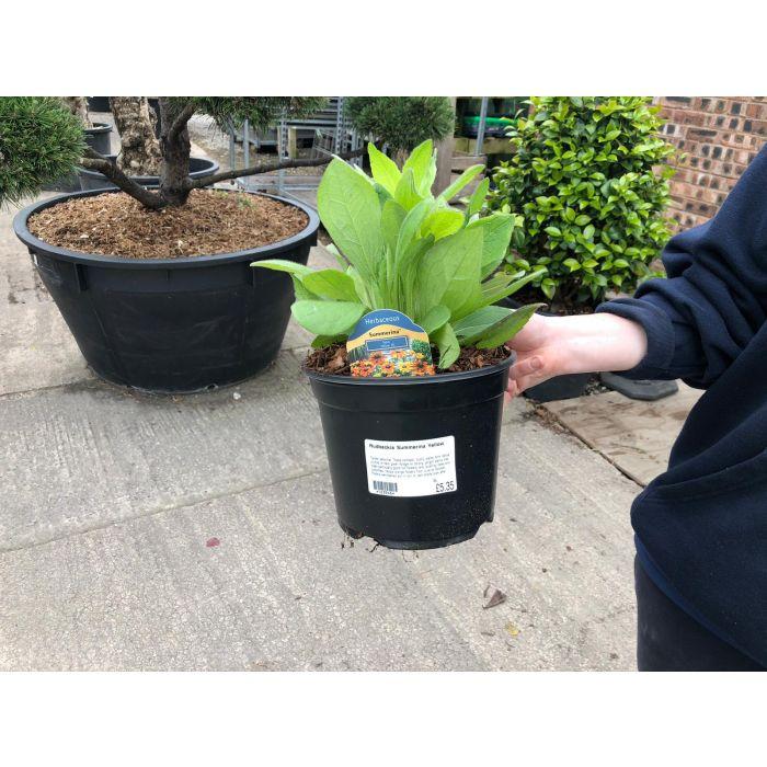 Rudbeckia Summerina Yellow 3 Litre Pot