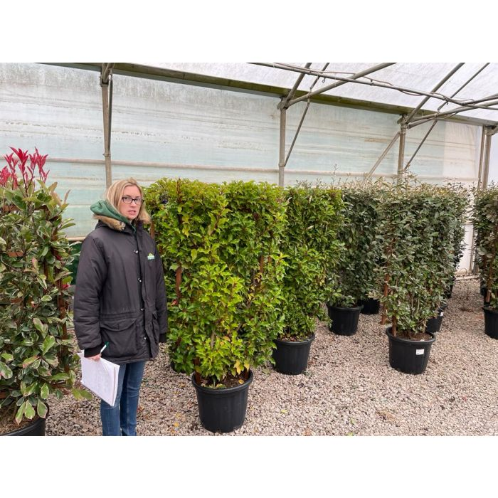 Prunus lusitanica Brenelia Wall Frame 120 x 70cm