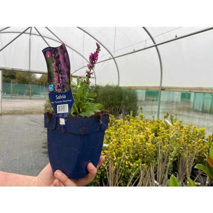Salvia Nemerosa Deep Rose 11cm Pot