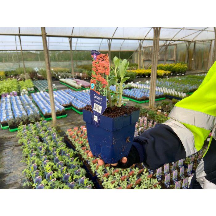 Sedum Herbstfreude 11cm Pot