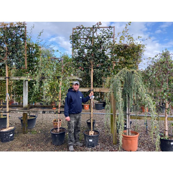 Photinia Red Robin Pleached Full Standard 180cm ST 120x120cm Delivery September
