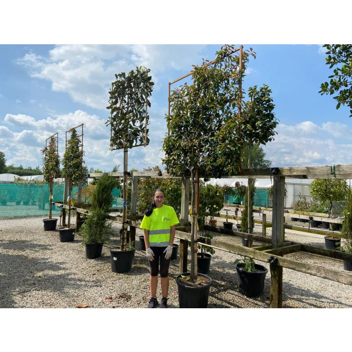 Portuguese Laurel 150cm Stem With Pleached Hedge Panel 150x150cm