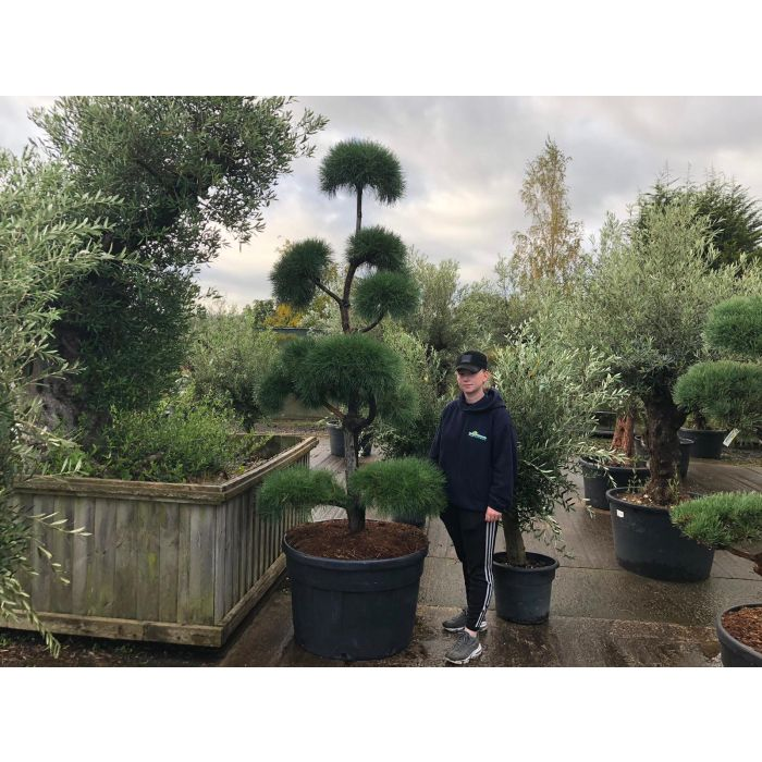 Pinus Sylvestris Bonsai 230 Litre Pot