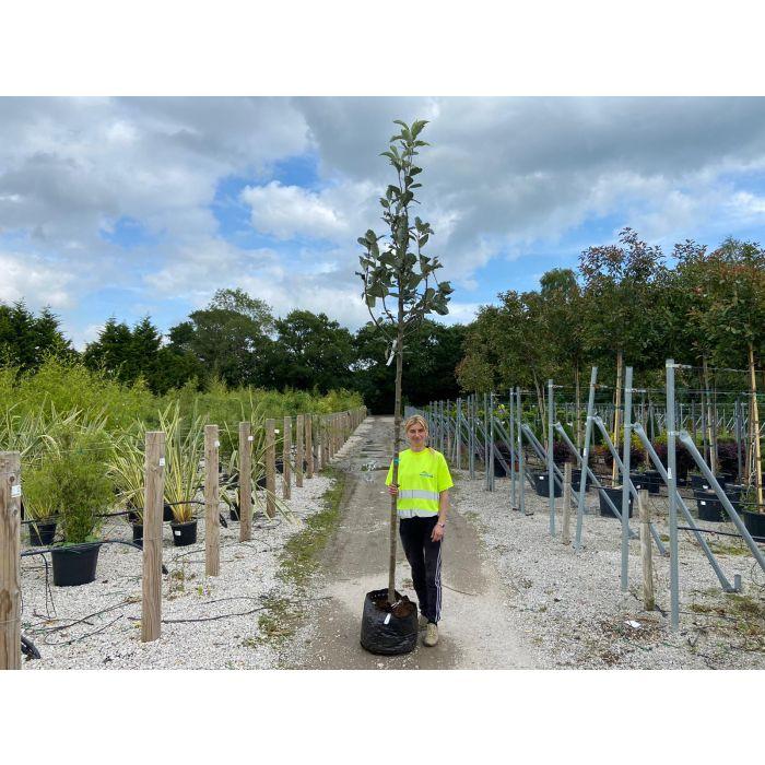 Sorbus Aria Extra Heavy Standard 12-14 cm Girth