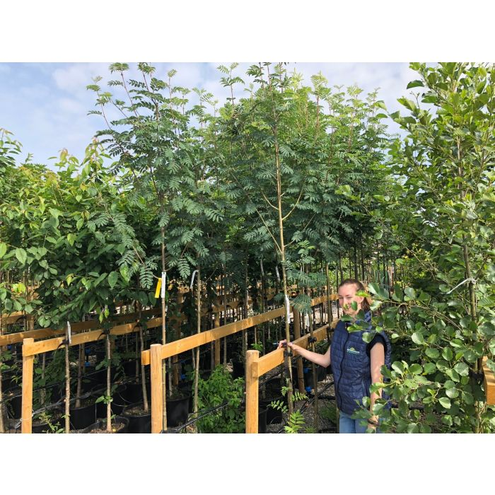 Sorbus Auc. Sheerwater Seedling