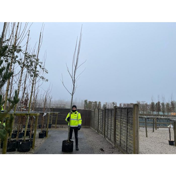 Sorbus Auc. Sheerwater Seedling 10-12 cm Heavy Standard