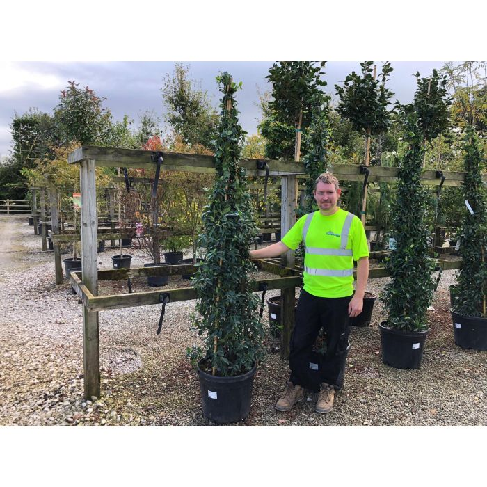 Trachelospermum Jasminoides 45 Litre Pot 3 Canes 200cm