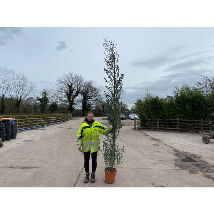 Eucalyptus Gunnii Azura 30 Litre Pot 300 - 350 cm