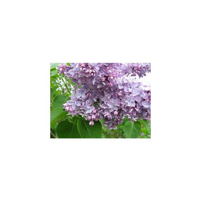 Syringa vulgaris Katherine Havemeyer 10 Litre Pot 1/2 Standard