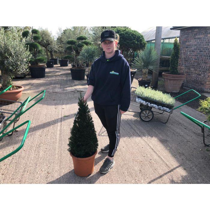Yew Cone 12 Litre Pot 60/70cm