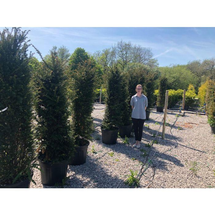 Yew Hedging 160-180 cm 50 Litre Pot