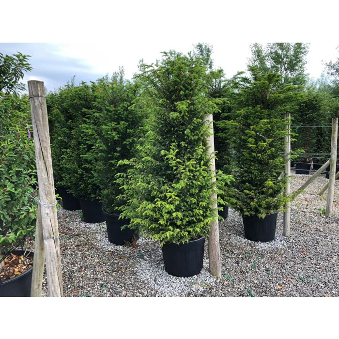 Yew Hedging 180-200 cm 70 Litre Pot Super Extra Wide