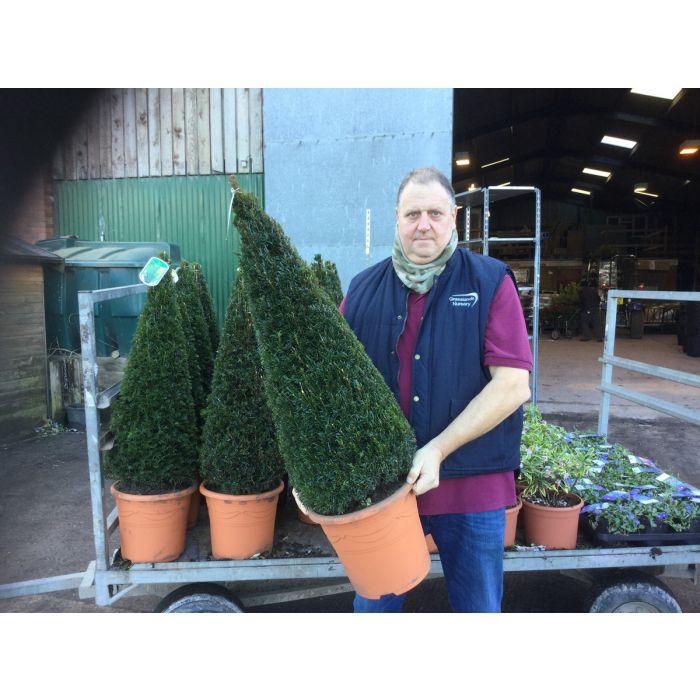 Yew Cone 12 Litre Pot 70/80cm