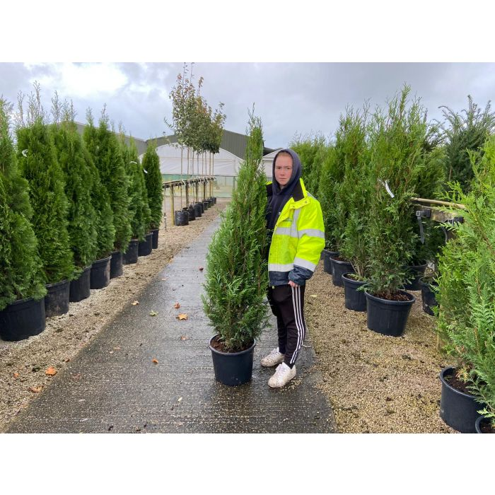 Thuja plicata Atrovirens Root Ball 150/175cm DIGGING NOW