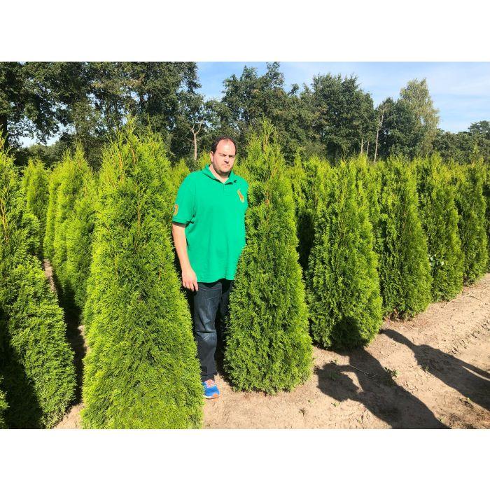 Thuja Emerald Root Ball 175/200cm Pre Order